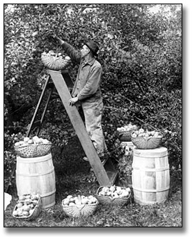 Photographie : Man picking apples in an orchard, 1919