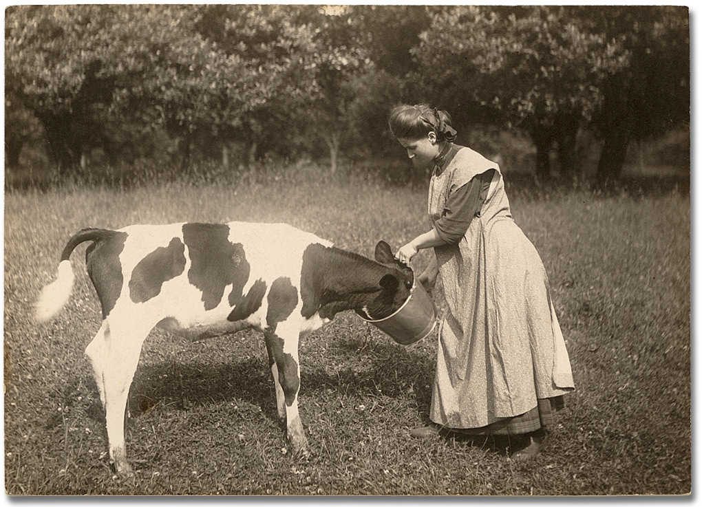 Photographie : Woman feeding a calf, 1910