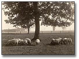 Photographie : Sheep grazing, 1919