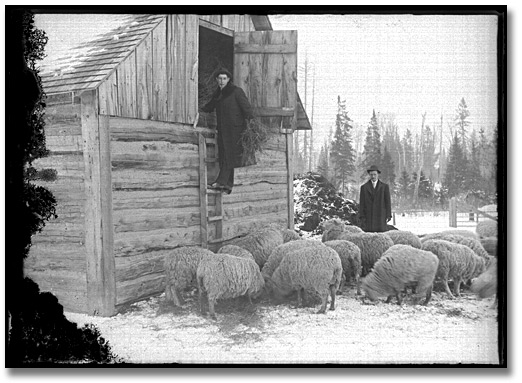 Photographie : Getting hay for the sheep, [190-]