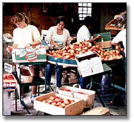 Photographie : Women sorting and grading fresh peaches for sale at market, 19 août 1986