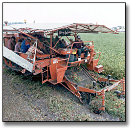 Photographie : Mechanically harvesting tomatoes, Leamington, 10 septembre 1986