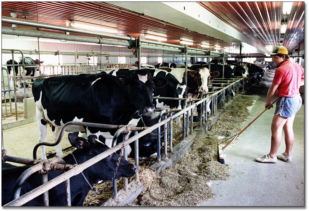 Photographie : Dairy farmer working in the barn, Guelph, 28 juillet 1989