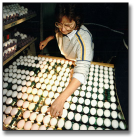 Photographie : Woman inspecting eggs, 8 novembre 1988
