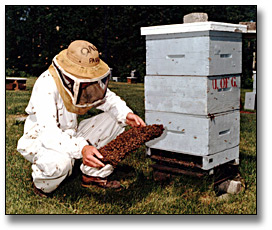 Photographie : Man tending to bees in a hive, University of Guelph, 6 juin 1988