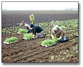 Photographie : Agricultural labourers transplanting celery to a field, 25 mai 1984