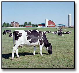 Photographie : Cows grazing on a farm, 22 juin 1977