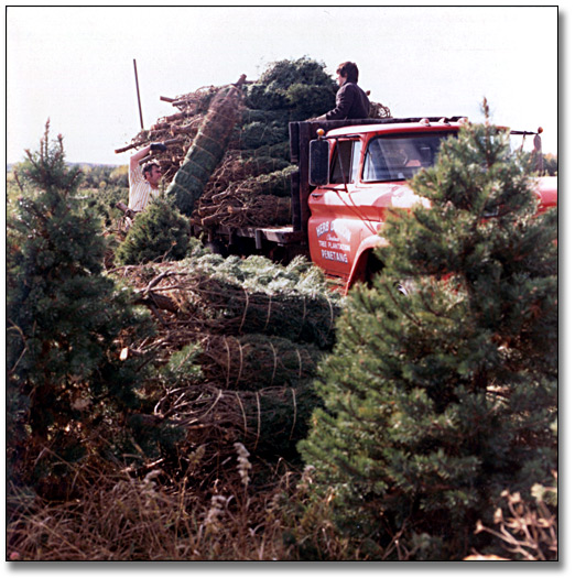Photographie : Loading baled trees on a truck on a Christmas Tree Farm, 15 octobre 1973