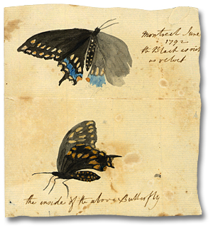 Lavis sur papier : Montreal, juin 1792 [the Black as rich as velvet; the inside of the above butterfly] (détail)